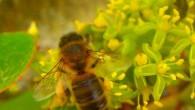 Petite nouveauté ! Le miel de Côte-Montpezat ! Pour nous conforter dans notre démarche de viticulture dite » raisonnée» et évaluer notre impact global sur la nature, nous avons placé […]